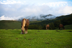 Beautiful free horses pottok eating in irati mountains, basque country, france Royalty Free Stock Photos