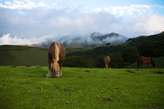 Beautiful free horses pottok eating in irati mountains, basque country, france Royalty Free Stock Photo