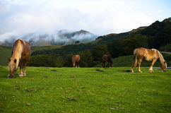 Beautiful free horses pottok eating in irati mountains, basque country, france Royalty Free Stock Image