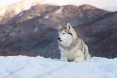 Beautiful and free Siberian Husky dog lying is on the snow in winter forest at sunset on bright mountain background. Profile Portrait of beautiful Siberian Husky stock photos