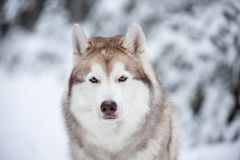 Beautiful and free Siberian Husky dog sitting on the snow in front of fir-tree in the winter forest. Close-up Portrait of beautiful, prideful and free Siberian royalty free stock photo