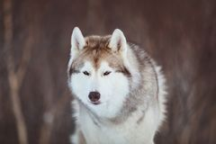 Beautiful and free Siberian Husky dog sitting is on the snow in winter forest at sunset on mountain background. Close-up portrait of gorgeous, prideful and free royalty free stock images