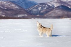 Beautiful and free siberian husky dog standing and howling in the snow field in winter at sunset on mountain background. Portrait of Beautiful and free siberian royalty free stock photos
