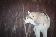 Beautiful and free siberian Husky dog standing on the snow in the winter forest. Portrait of beautiful, prideful and free siberian Husky dog sitting on the snow royalty free stock images