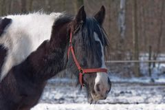Beautiful free stallion in a winter wood Stock Image