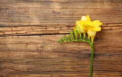Beautiful freesia on background royalty free stock photography