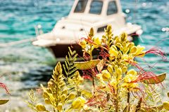 Beautiful freesia flowers and little boat in Maslinica, Solta is Royalty Free Stock Photo