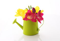 Beautiful freesia flowers  in watering can Stock Image