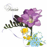 Beautiful freesia, isolated on white with forget me not and spri Royalty Free Stock Images