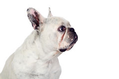 Beautiful french bulldog Royalty Free Stock Photo