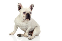 Beautiful french bulldog Royalty Free Stock Images