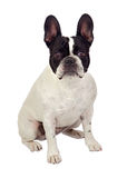 Beautiful french bulldog Stock Photography