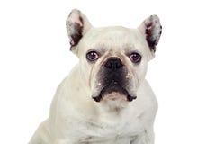 Beautiful french bulldog Stock Image