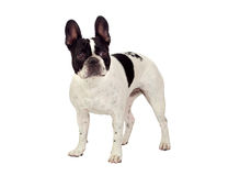 Beautiful french bulldog Stock Images
