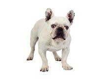 Beautiful french bulldog Royalty Free Stock Image