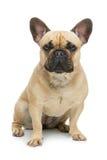 Beautiful french bulldog dog Royalty Free Stock Images