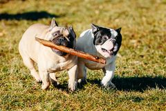 Beautiful French Bulldog Puppy Dog Pup Puppy Whelp Stock Image