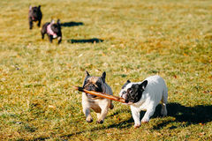 Beautiful French Bulldog Puppy Dog Pup Puppy Whelp Stock Photography
