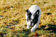 Beautiful French Bulldog Puppy Dog Pup Puppy Whelp Royalty Free Stock Photography