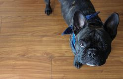 Cute french bulldog face, top view. Beautiful frenchie face with big brown eyes and big ears. Top view Stock Image