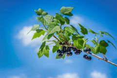 Beautiful and fresh black currant on branch in summer on a background blue sky and white clouds Stock Photo