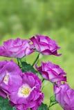 Beautiful fresh blossoming magenta rose flowers. Delightful fragranced purple floribunda climbing rose Blue for you in the garden. Stock Images