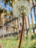 Beautiful fresh dandelion on turkish beach stock image