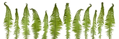 Beautiful fresh fern leaves in a row isolated royalty free stock images