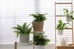 Free Beautiful Fresh Ferns On Rack Near Window Indoors Royalty Free Stock Image - 216273866