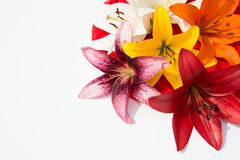 Beautiful fresh flowers. Tenderness and pleasant smell. Garden Lilies. Beautiful fresh flowers. Tenderness and pleasant smell stock images