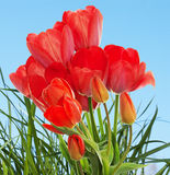 Beautiful  fresh  garden tulips Royalty Free Stock Images