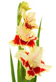 Beautiful fresh gladiolus isolated Royalty Free Stock Photos
