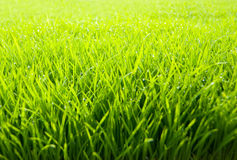 Beautiful and fresh grassland Royalty Free Stock Photo
