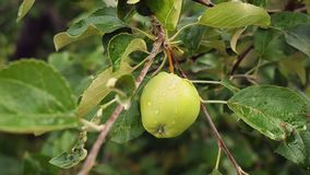 Beautiful green apple on an apple tree branch after the rain. Beautiful fresh green apple on an apple tree branch after the rain. Closeup shot stock video footage