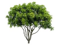 Beautiful fresh green deciduous tree isolated on pure white background for graphic. With clipping path royalty free stock photo
