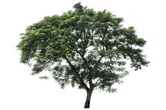 Beautiful fresh green deciduous tree isolated on pure white background for graphic. With clipping path stock photography