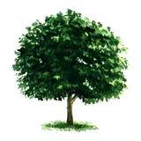 Beautiful fresh green deciduous tree isolated on white background Stock Photo