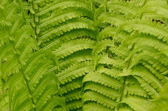 Beautiful fresh green fern leaves close-up. Spring floral background Royalty Free Stock Images