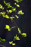 Beautiful fresh green leaves background Stock Photography