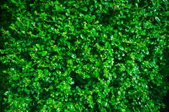 Beautiful fresh green leaves wall background Royalty Free Stock Photos