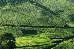 Beautiful fresh green tea gardens in Munnar highland,Kerala,Indi Royalty Free Stock Photo