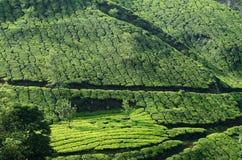 Beautiful fresh green tea gardens in Munnar highland,Kerala,Indi Royalty Free Stock Photo