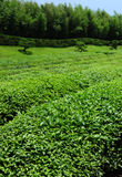 Beautiful fresh green tea Stock Images