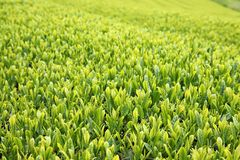 Beautiful fresh green tea plantation Stock Photography