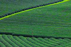 Beautiful fresh green tea plantation Royalty Free Stock Photos