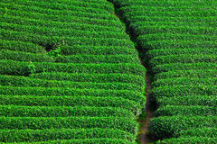 Beautiful fresh green tea plantation Royalty Free Stock Image