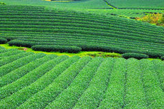 Beautiful fresh green tea plantation Stock Photo