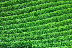 Beautiful fresh green tea plantation Royalty Free Stock Photo