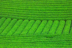 Beautiful fresh green tea plantation Stock Images