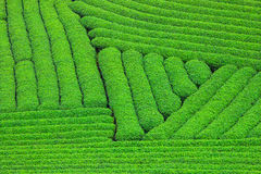 Beautiful fresh green tea plantation Royalty Free Stock Photography